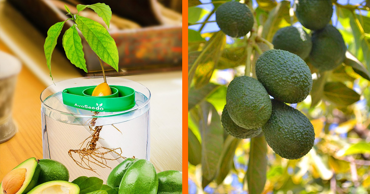 The AvoSeedo Lets You Grow Your Own Avocado Tree In a Bucket Of Water