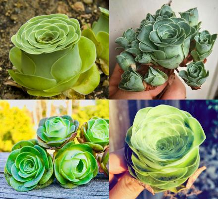 Rose Succulents Are Now a Thing, And They Look Straight Out of a Fairytale