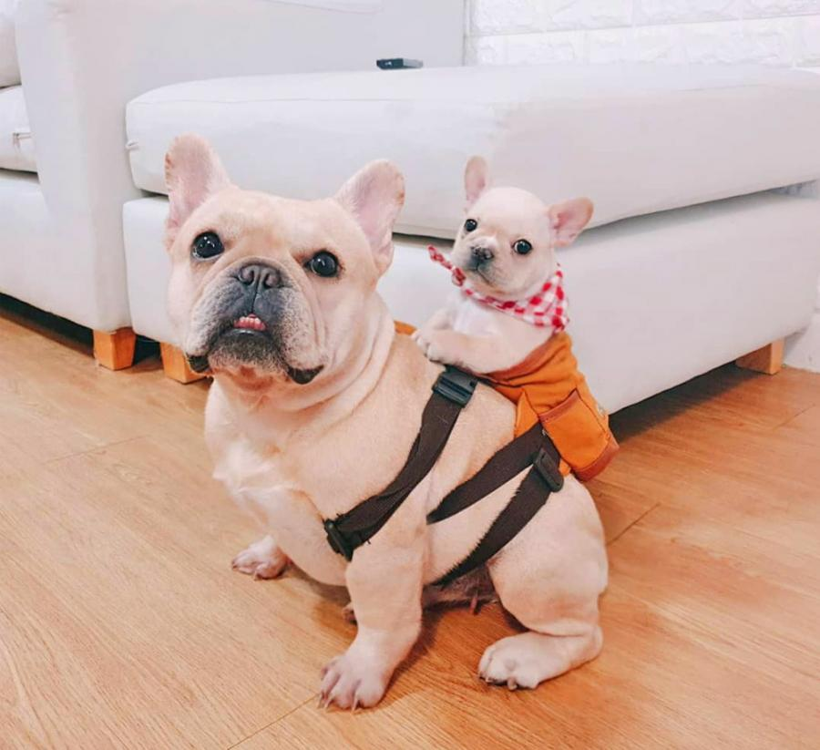 These Cute Little Dog Backpacks Lets Them Hold Their