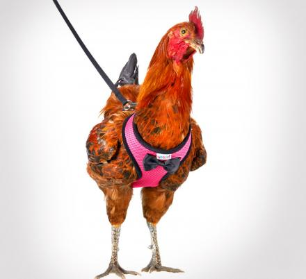 This Chicken Harness Lets You Take Your Birds For a Walk