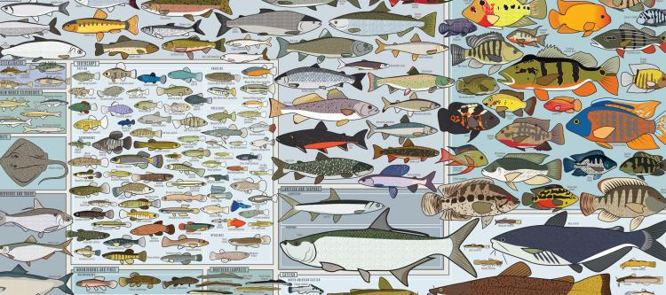 Fishing Poster - Freshwater Fish of America Poster - Picture of every fish in america