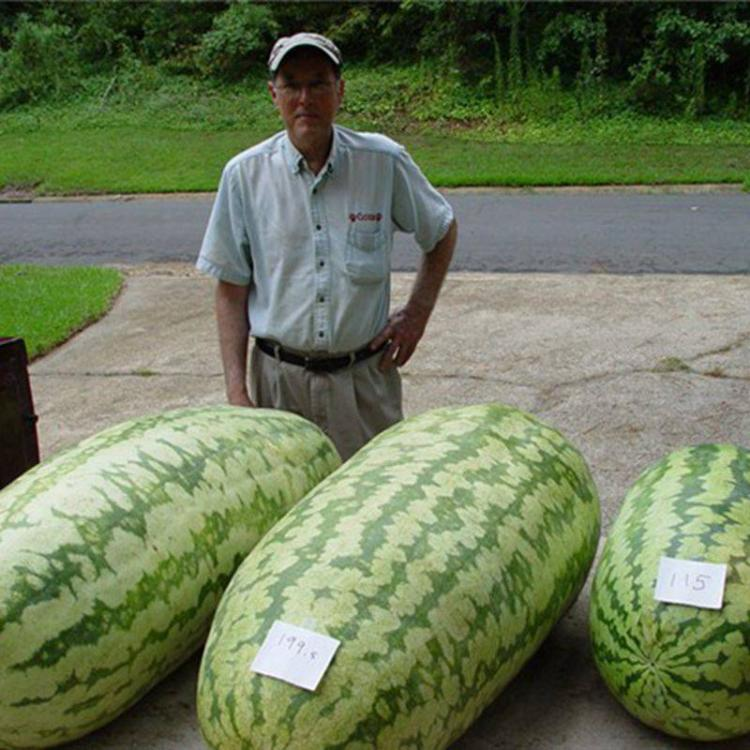 Giant Watermelon Seeds - Magical watermelon seeds grow huge 200 lb watermelons