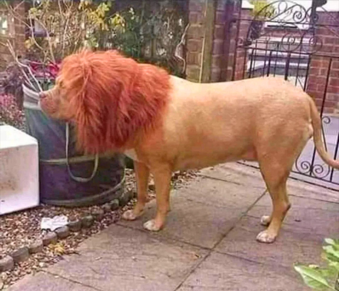 Turn Your Dog Or Cat Into a Lion With These Lion Mane Pet Wigs - Dog lion mane wig