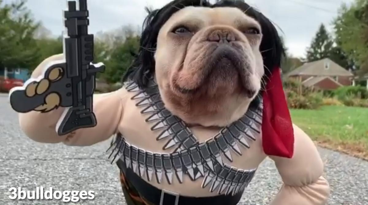 Rambo Dog Costume - French Bulldog Rambo Halloween Costume