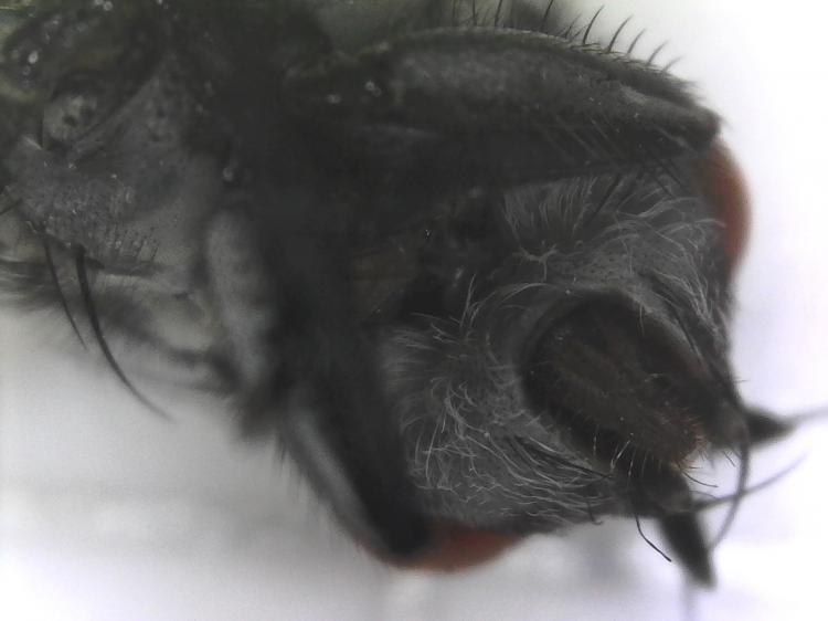 Magnified House Fly