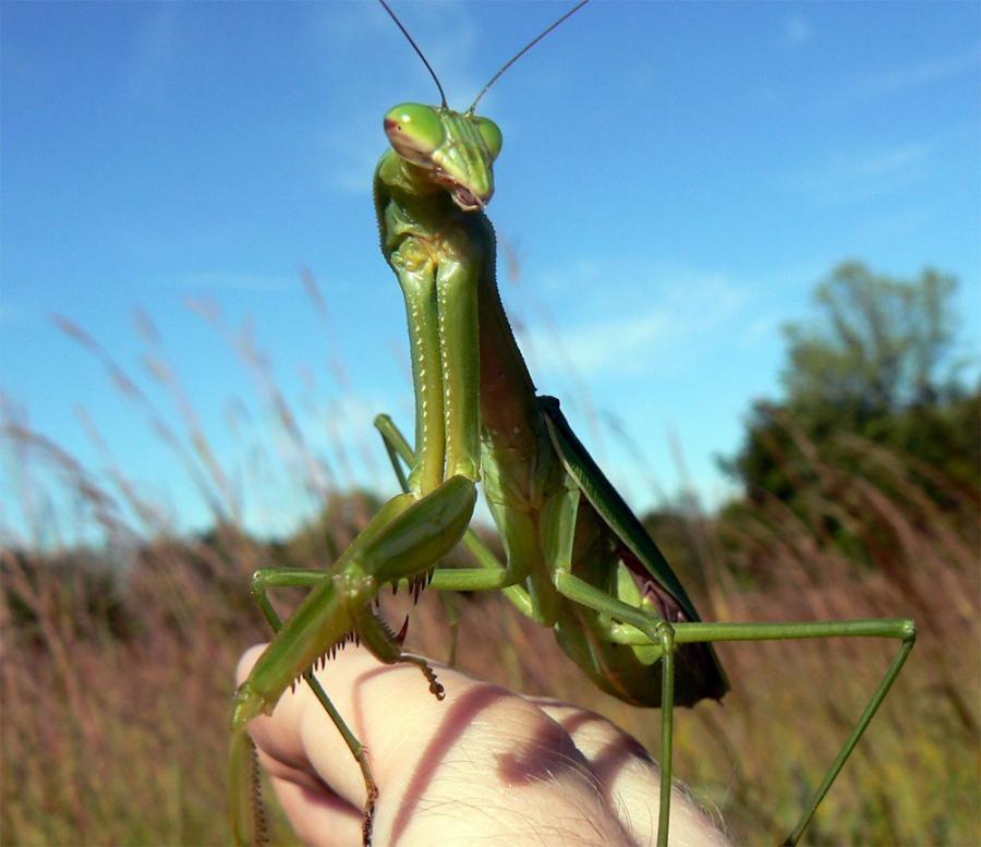 You Can Buy a Live Praying Mantis as a Pet Online