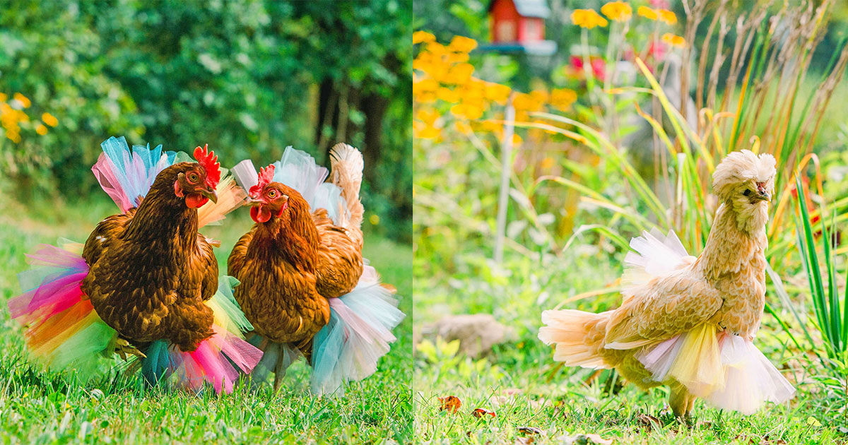 You Can Now Dress Your Chicken In A Tutu To Make Them Extra Fancy