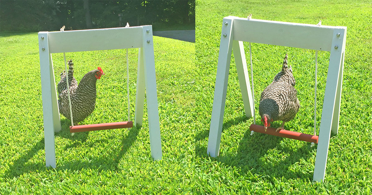 You Can Now Get A Swing Set For Your Chicken
